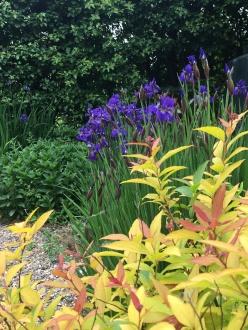spiraea and iris