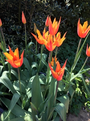 Tulipa ballerina