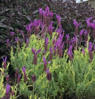 lavender and sage