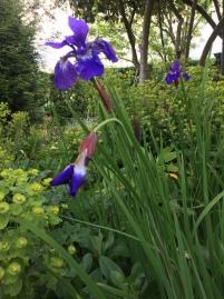 iris and euphorbia