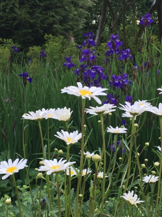 white daisies and blue iris