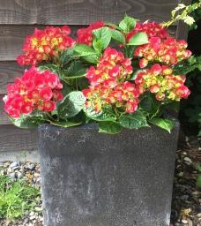 hydrangea in granite container