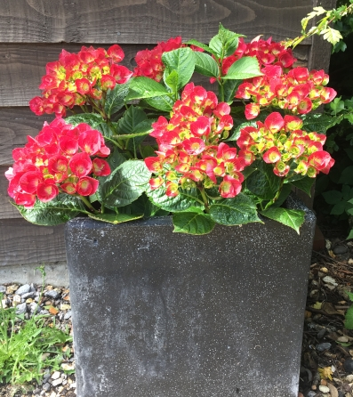 hydrangea in granite container
