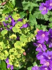 Euphorbia and blue geraniums