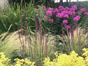 phlox and stipa