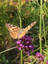 butterfly on verbena bonariensis
