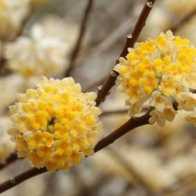 Edgeworthia-chrysantha-Grandiflora_1