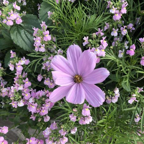 cosmos and nemesia